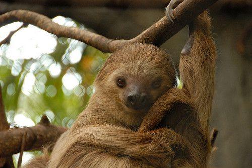 Свидание ленивцев
