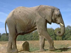 У какого животного самые большие уши